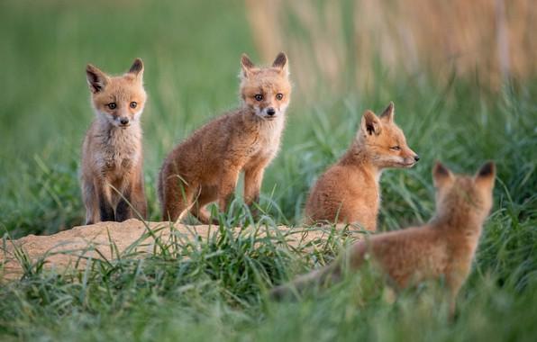Picture grass, Fox, cubs, cubs