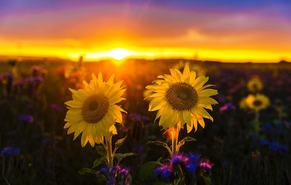 Picture field, the sky, the sun, sunflowers, sunset, flowers, yellow, bokeh
