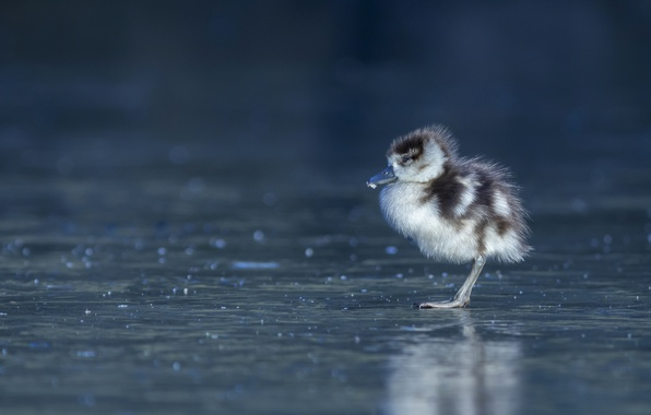 Picture bird, ice, baby, chick, Gosling, The Nile goose