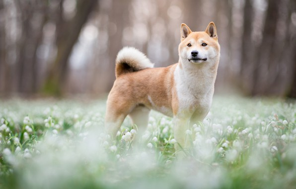 Picture forest, look, face, trees, flowers, nature, Park, background, glade, dog, spring, blur, snowdrops, cute, puppy, …