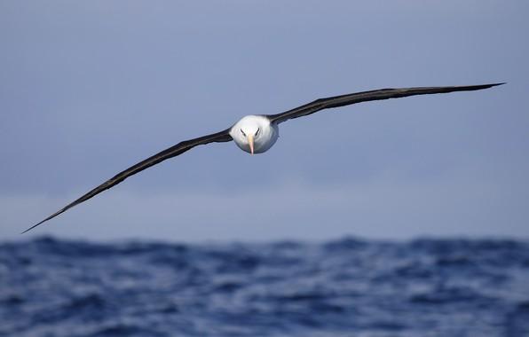 Picture sea, bird, flight, Campbell's Albatross, Thalassarche impavida