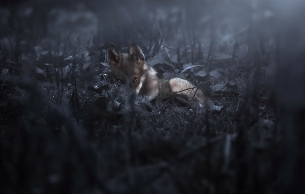 Picture night, nature, wolf