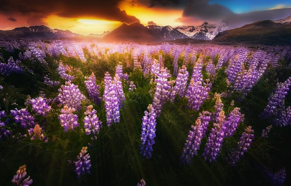 Picture clouds, light, flowers, mountains, clouds, the darkness, valley, Iceland, Lupins