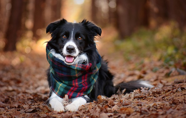 Picture autumn, look, leaves, trees, nature, animal, dog, scarf, alley, dog, the border collie