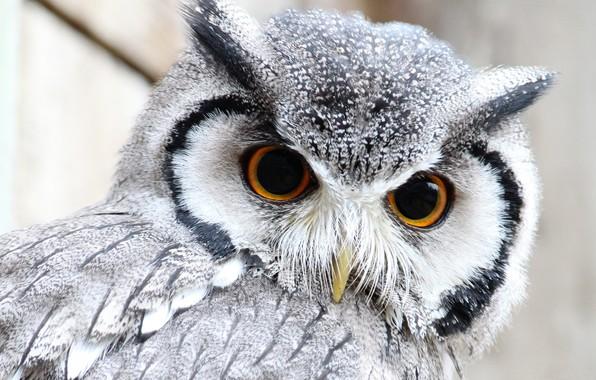 Picture eyes, owl, feathers, beak