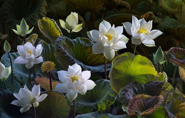 Picture leaves, flowers, nature, treatment, art, Lotus, white, buds, Lotus, composition