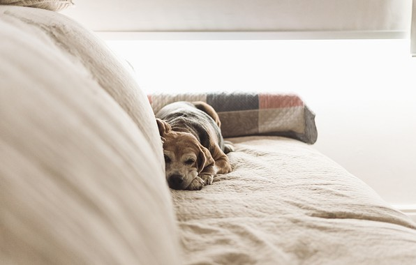 Picture sofa, dog, lies