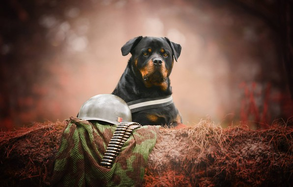 Picture look, face, portrait, dog, Rottweiler, cartridges, helmet, bokeh, soldier
