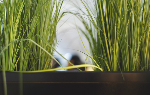Picture grass, leaves, plant, green