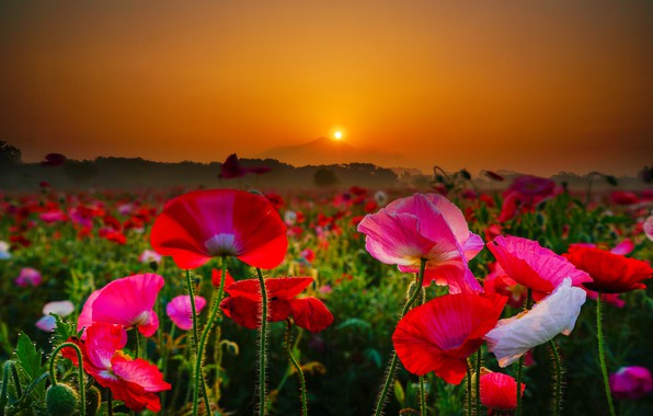 Picture field, flowers, sunrise, dawn, Maki, mountain, morning, Japan, blur, Japan, Mount Tsukuba, Mount Tsukuba