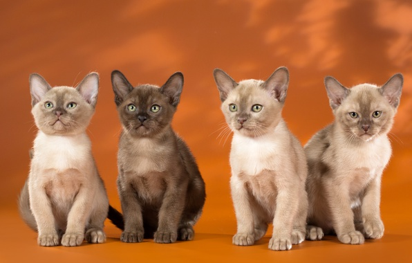 Picture kittens, Quartet, Burma, the Burmese