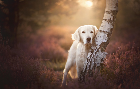 Picture look, tree, dog, birch, bokeh, Heather