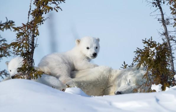 wallpaper winter snow bears bear polar bears polar. Black Bedroom Furniture Sets. Home Design Ideas