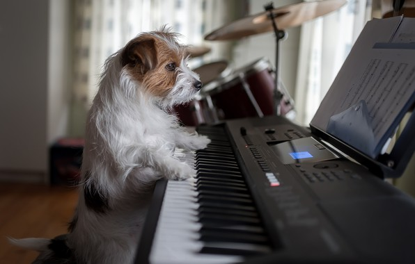 Picture dog, piano, musician, doggie, Jack Russell Terrier