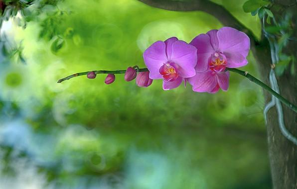Picture background, petals, Orchid