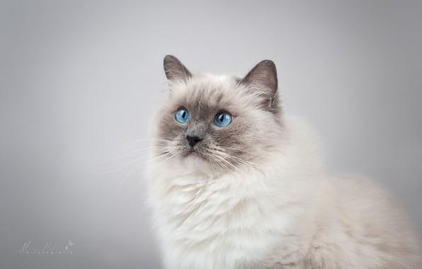Picture cat, look, background, portrait, muzzle, blue eyes, photoshoot, Ragdoll