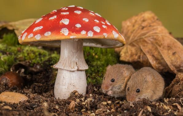 Picture leaves, nature, mushroom, moss, mushroom, pair, mouse