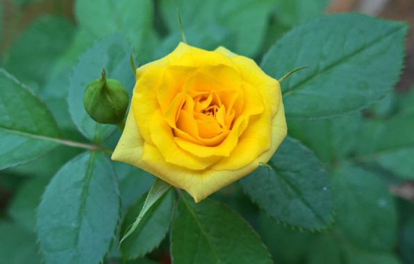 Picture leaves, rose, Bush, petals, Bud, yellow
