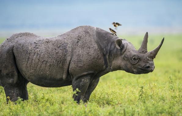 Picture birds, Africa, Rhino