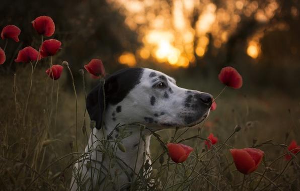Picture face, flowers, Maki, dog, Dalmatian