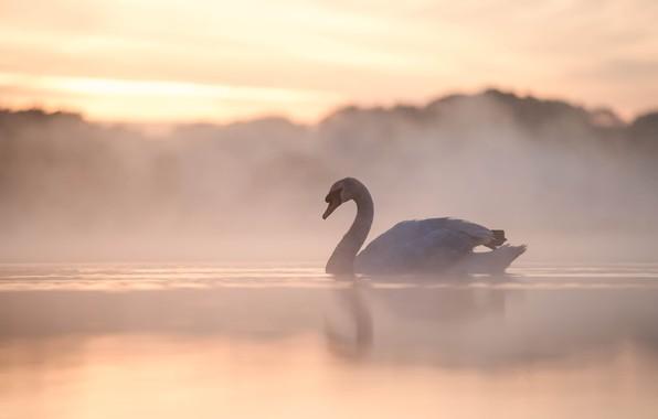 Picture fog, lake, bird, morning, Swan