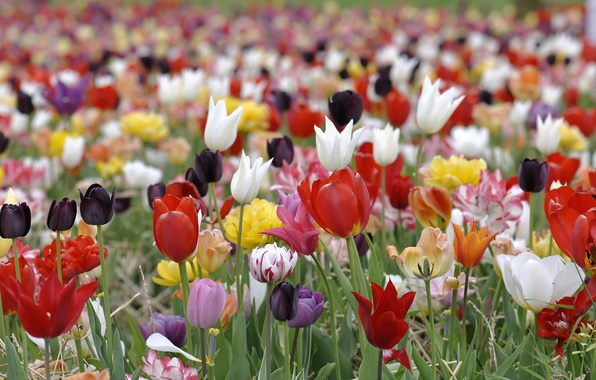 Picture paint, spring, petals, meadow, tulips