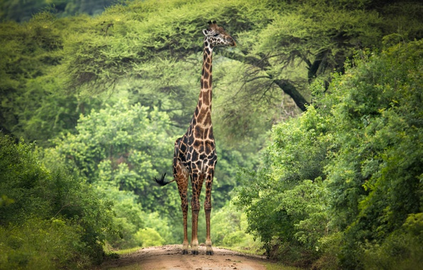Picture trees, branches, giraffe, Africa