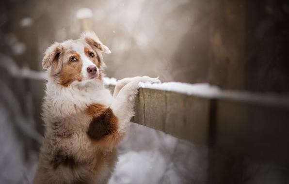 Picture look, snow, dog, bokeh, Australian shepherd, Aussie