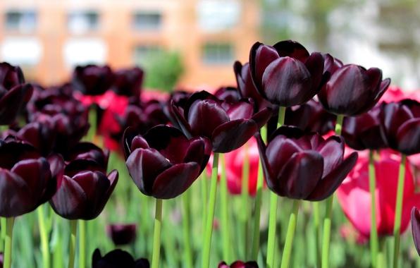 Picture Spring, Tulips, Spring, Dark tulips