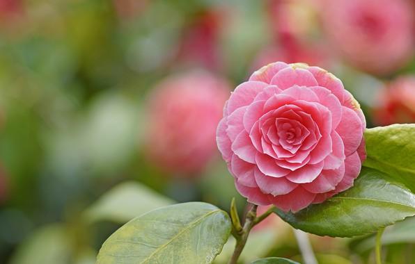 Picture macro, beauty, Camellia