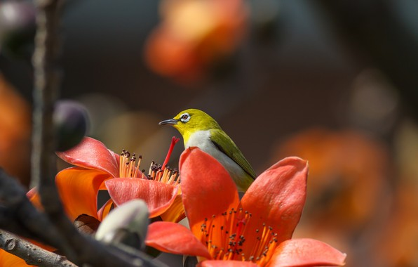 Picture flowers, tropics, branch, bird, white-eyed, Hon Cheong, blank eyes, cotton tree