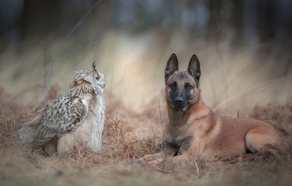 Picture autumn, forest, animals, grass, nature, background, owl, bird, dog, friendship, a couple, owl, Belgian shepherd