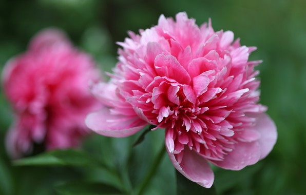 Picture flowers, pink, Bud, bokeh, peony