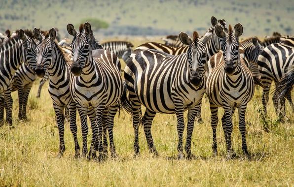 Picture field, grass, the herd, Zebra, striped