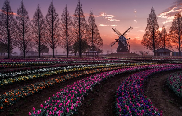 Picture field, trees, flowers, spring, the evening, Netherlands, Holland, tulpani, windmill