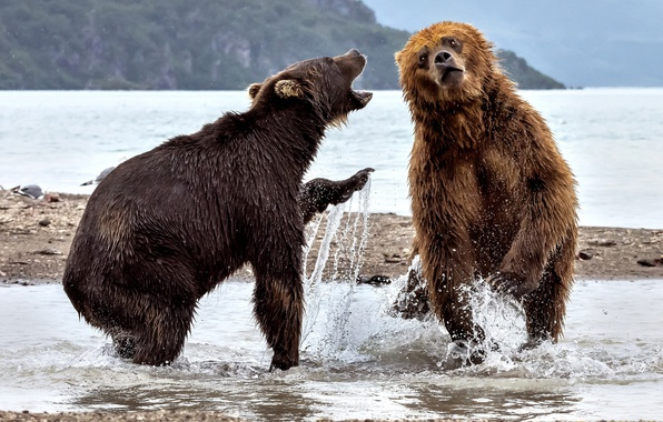 Picture water, squirt, river, bears, two bears
