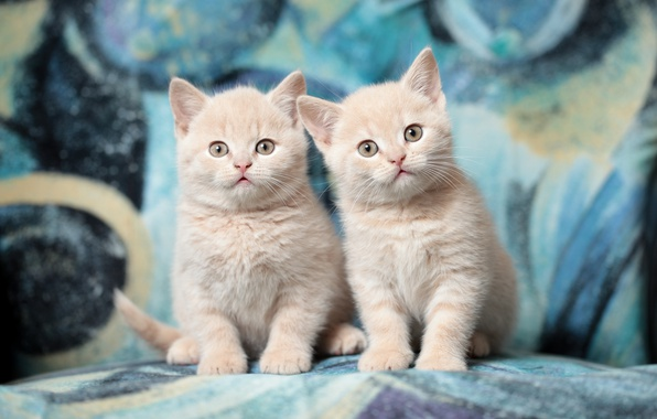 Photo wallpaper breed, the British, Duo, kittens