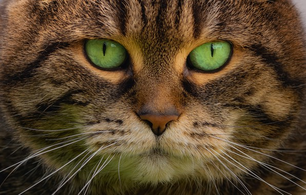 Picture look, portrait, muzzle, green eyes, Kote, kotofeich