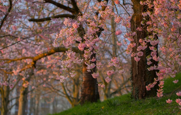 Picture trees, branches, spring, Sakura, flowering