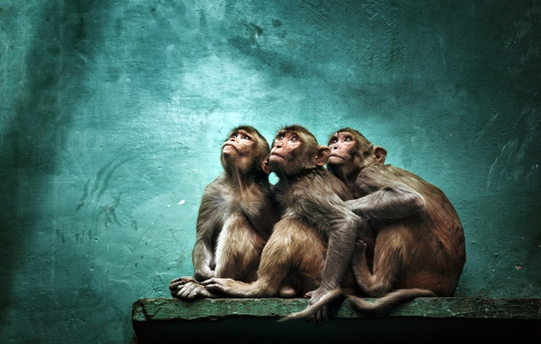 Picture background, monkey, zoo
