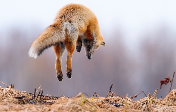 Picture background, jump, Fox, Fox, in the air