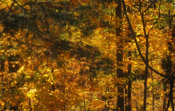 Picture forest, Autumn, Trees, Fall, Autumn, Golden autumn, Forest, Trees, Golden autumn