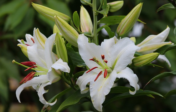 Picture summer, flowers, nature, Lily, beauty, flowering, cottage