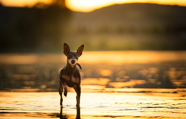 Picture nature, background, dog, EACH