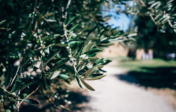 Picture leaves, macro, branches, tree, green, the olive tree