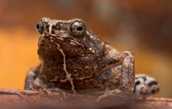 Picture nature, background, toad