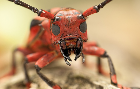Picture eyes, macro, insect, head, mouth, antennae, ant, Hymenopteran insect, family Formicidae, Messor structor