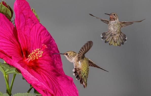 Picture flower, birds, Hummingbird, hibiscus