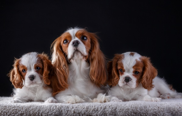 Picture family, puppies, mom, the cavalier king Charles Spaniel