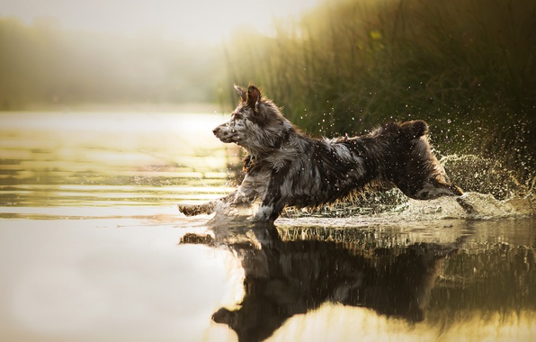 Picture water, squirt, dog, running, Sira